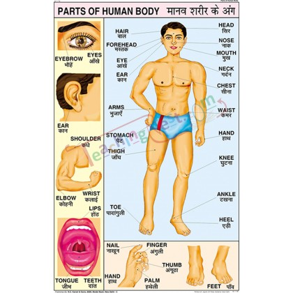 Parts of Human Body Chart (50x75cm)
