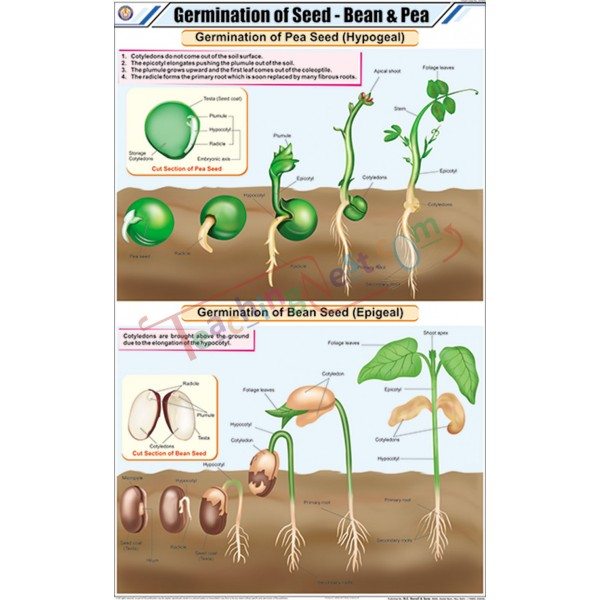 bean and pea germination The germination process through the flowering reproductive stage of the bean plant is a fascinating glimpse into the plant kingdom's cycles understanding.