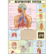 The Respiratory System Chart (70x100cm)