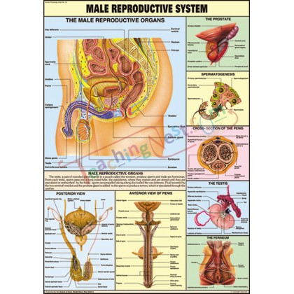 Male Reproductive System Chart (70x100cm)