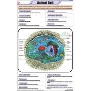 Animal Cell Chart (58x90cm)