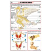 Skeleton of a Bird (Pigeon) Chart (58×90cm)